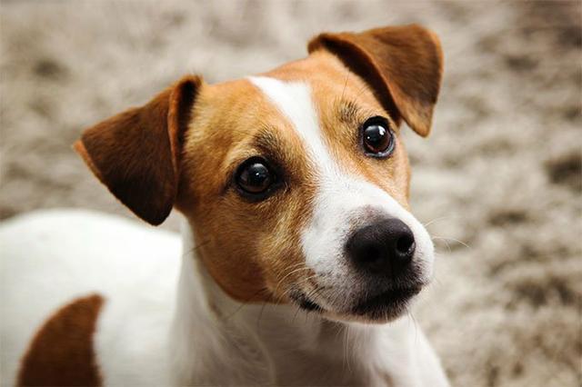 látás jack russell terrier