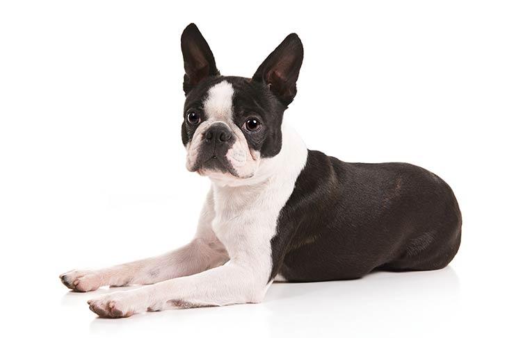Boston Terrier - Wiki Pets