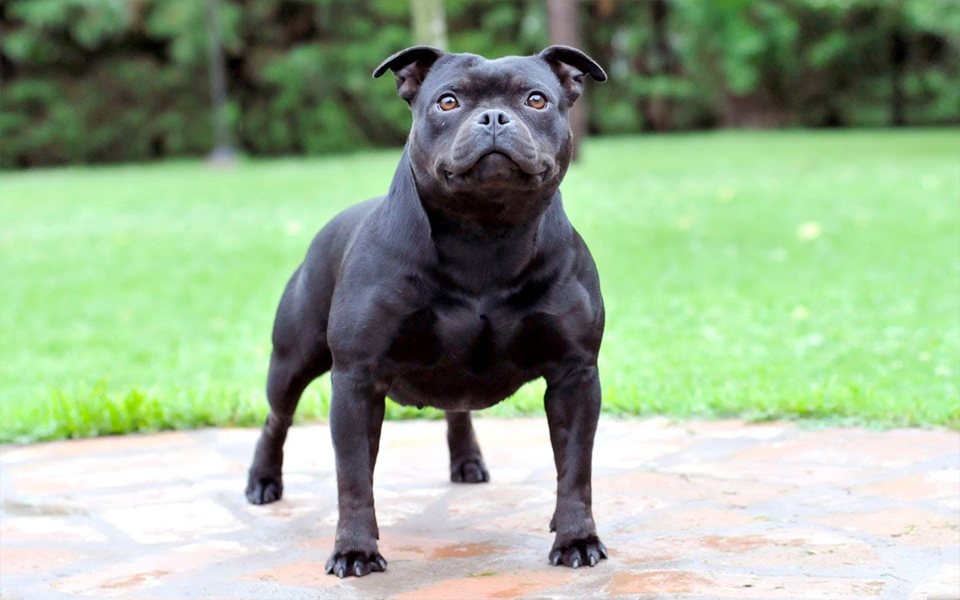 Staffordshire Bull Terrier - Wiki Pets
